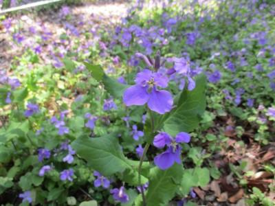 紫花菜祭り開催