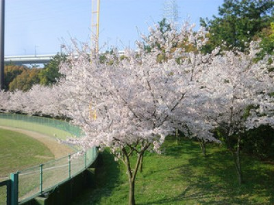 エコで桜の植樹祭を開催致します。