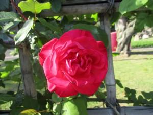 2017-4-rose02