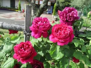 2017-5-rose01