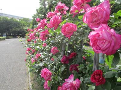 バラの開花状況
