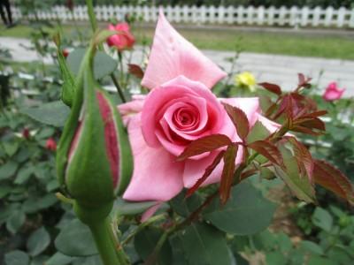 5/12(金)~14(日)番の州公園バラ祭り開催