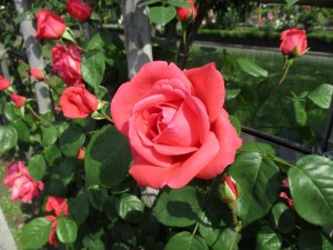 2017-5-rose13