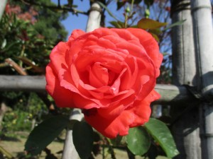 2017-10-rose01