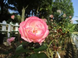 2017-10-rose02