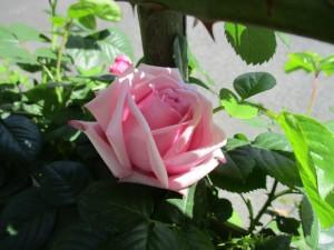 2018-4-rose01