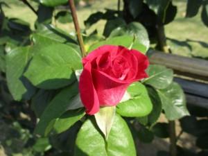 2018-4-rose03
