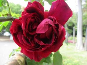 2018-4-rose05