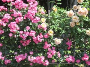 2018-4-rose06