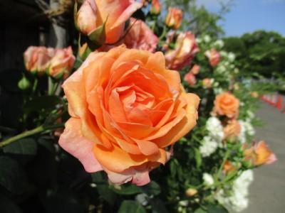 只今、ツルバラ花壇が見頃です!