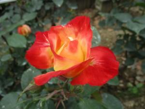 2018-5-rose09