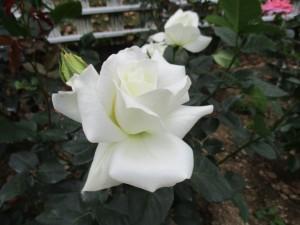 2018-5-rose10