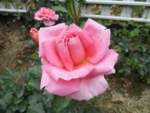 2018-5-rose11