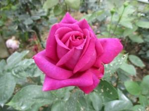 2018-5-rose12