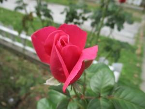 2018-10-rose02