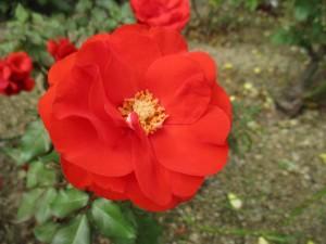 2018-10-rose03