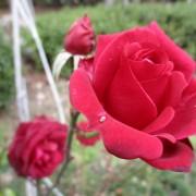 2018-12-roze01