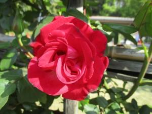 2019-4-rose01