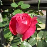 2019-4-rose02