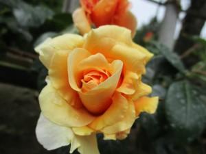 2019-4-rose04