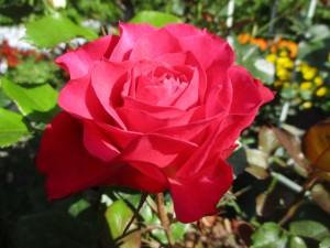 2019-5-rose02