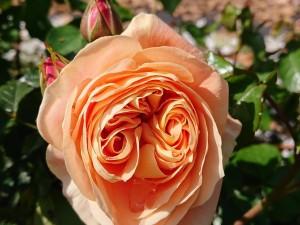 2020-4-rose01