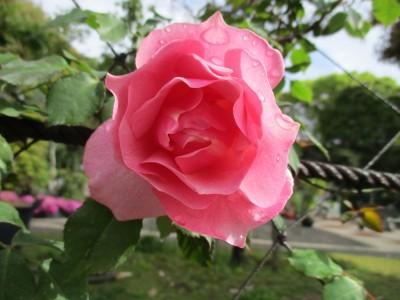 バラ祭り中止のお知らせ