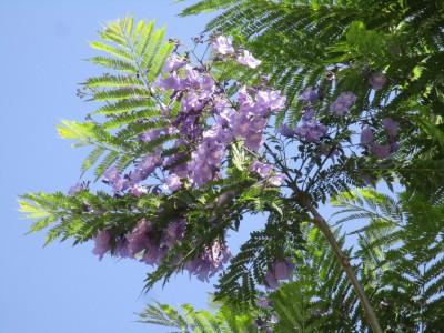 ジャカランダ開花