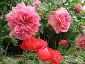 2020-5-rose02
