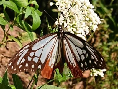 渡り蝶『アサギマダラ』