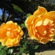 2020-12-rose02