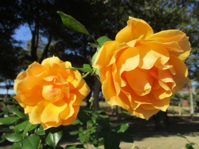 番の州公園開花情報(12/4)