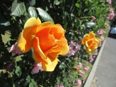 番の州公園『第8回バラ祭り』