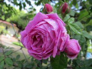2021-4-rose09