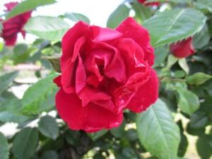 2021-4-rose11