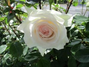 2021-4-rose12