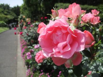 番の州公園『バラ祭り』中止のお知らせ