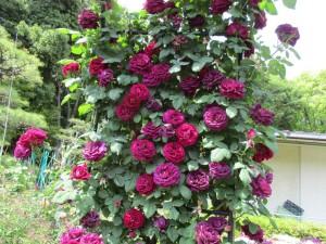 r3-5-rose02