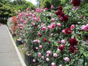 r3-5-rose04