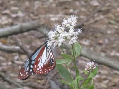 渡り蝶「アサギマダラ」が来ました